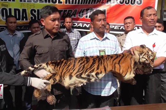 Polda Sumut tangkap penjual kulit Harimau