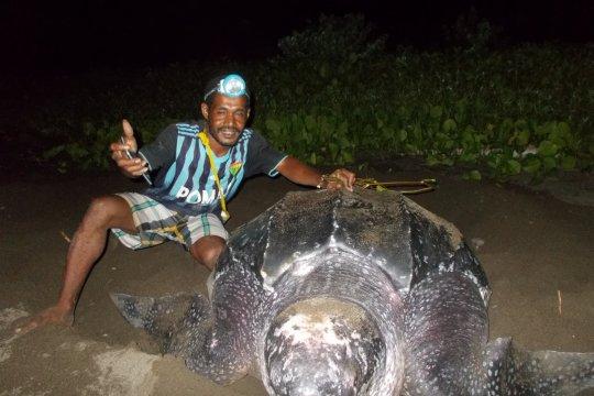 Lima penyu raksasa bertelur di Pantai Warebar Raja Ampat