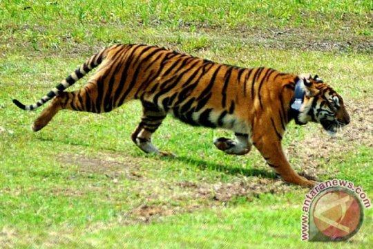 BBKSDA survei okupansi harimau sumatera di Sumatera Utara