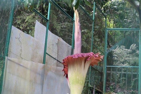 Perburuan liar ancam keberadaan Bunga Bangkai
