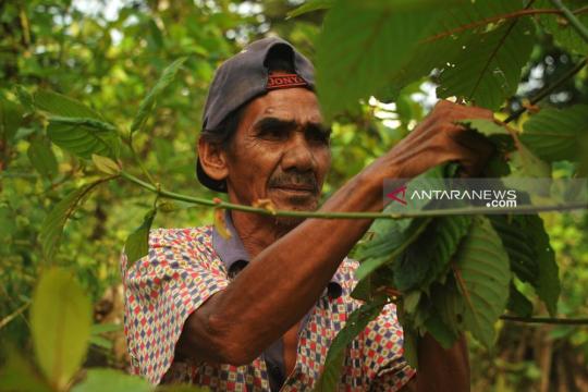Tokoh Melayu berharap Presiden bertemu petani terkait tanaman Kratom