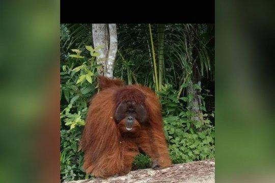 Orangutan masuk desa di pedalaman Barito Utara-Kalteng