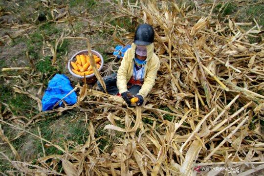 Bibit jagung gratis dibagikan kepada petani Gorontalo