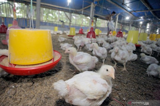 Pemerintah diminta perbaiki harga ayam hidup