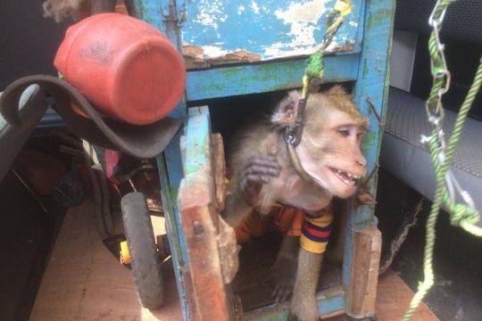 JAAN: waspadai penyakit menular dari topeng monyet