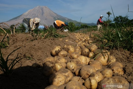 Panen kentang di kaki Gunung Sinabung