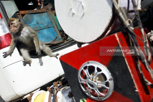 JAAN bersama Pemprov DKI merazia topeng monyet