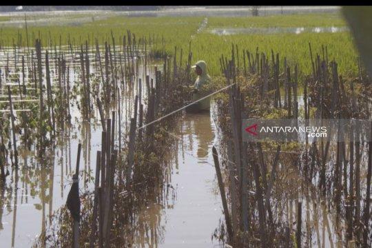 Puluhan hektare sawah di Tulungagung masih terendam banjir