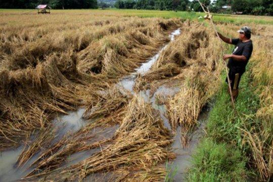 Bulog Sidrap pastikan distribusi beras ke wilayah gagal panen