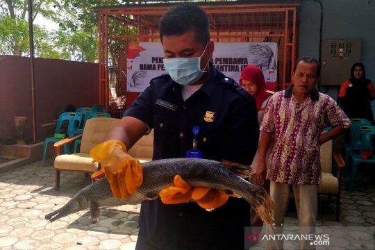 """Stasiun Karantina Aceh musnahkan ikan """"aligator"""""""