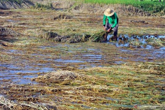 Sawah terendam air, petani panen lebih awal