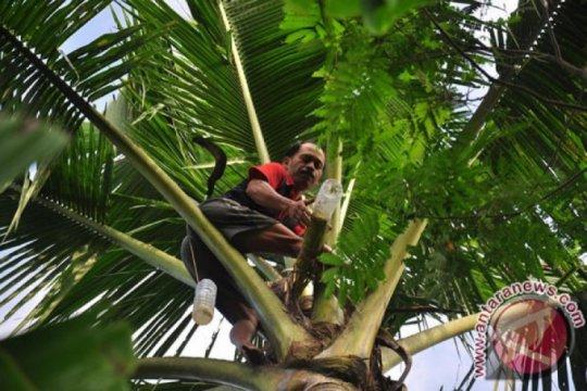 Tanaman kelapa di Sigi banyak mati dampak kemarau panjang