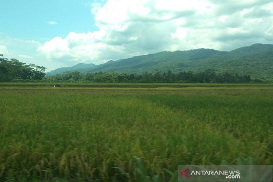 300 hektare tanaman padi di Banyumas terdampak cuaca buruk