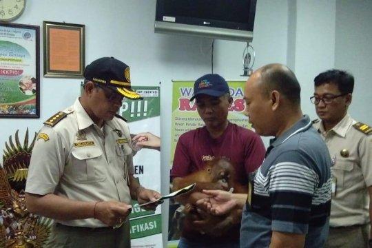 Penyelundupan anak orang utan digagalkan petugas Bandara Ngurah Rai
