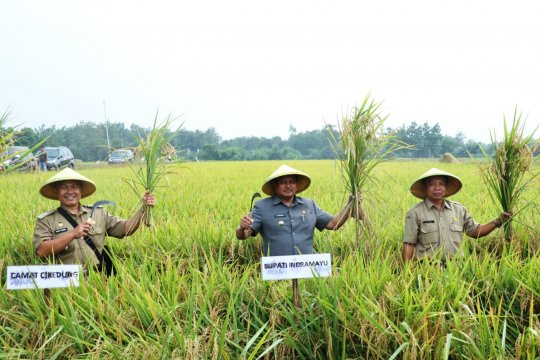 Harga gabah turun, Bupati Indramayu imbau petani tak jual hasil panen