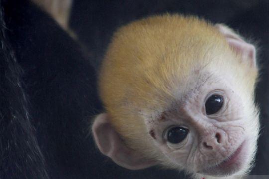 Kelahiran pertama bayi Lutung Jawa di Taman Satwa Taru Jurug