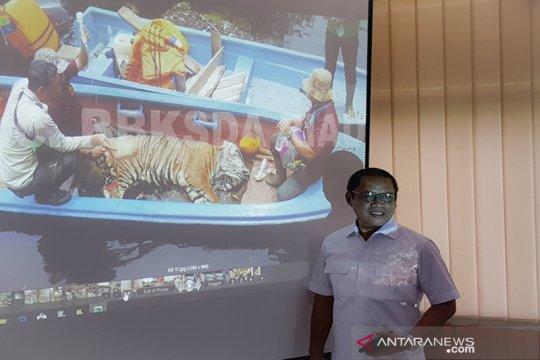 BBKSDA: kaki harimau sumatera infeksi akibat jerat terancam diamputasi