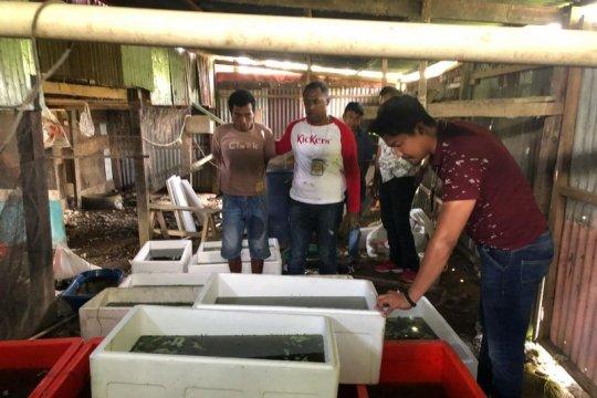 5.050 Kura kura moncong babi gagal diselundupkan dari Asmat