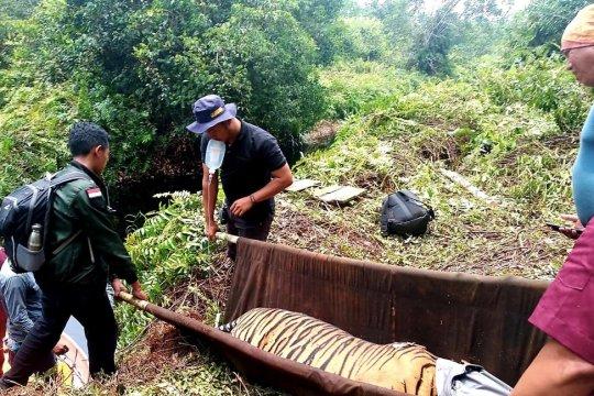 Evakuasi harimau Sumatera terkena jerat