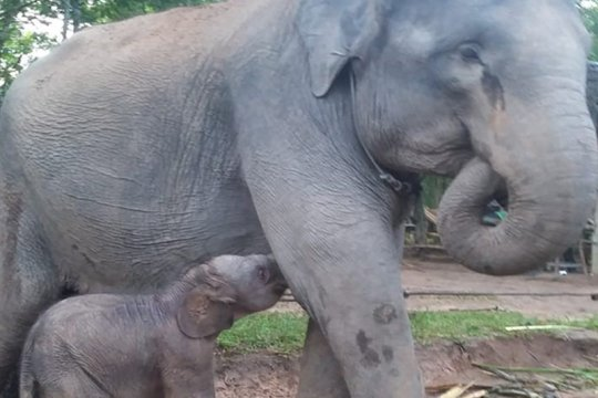 Bayi gajah jantan kembali lahir di Taman Nasional Way Kambas