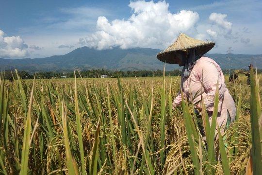 Produksi gabah turun tiga ton per hektare di Aceh Besar