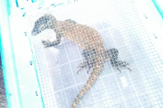 Komodo di luar habitatnya turunkan kunjungan wisatawan