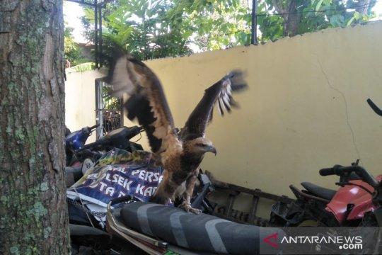 BKSDA menduga elang brontok dipelihara secara ilegal