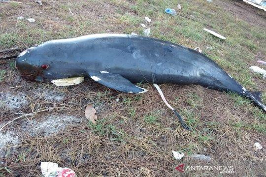 Lumba-lumba tanpa sirip terdampar hingga mati di Riau