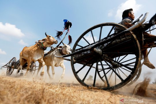 """Ada """"karapan sapi"""" di Kamboja"""