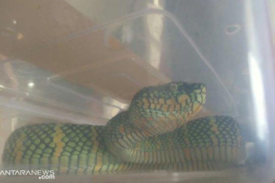 Karantina Padang amankan ular berbisa dalam paket keripik rendang