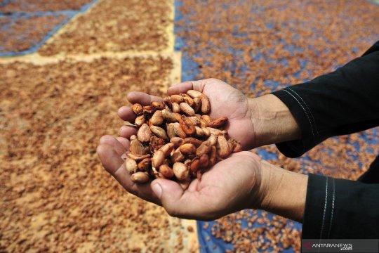 Daerah produsen terbesar kakao ini tak lagi ekspor, ini penyebabnya