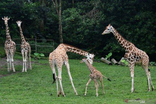Koleksi jerapah Taman Safari Prigen bertambah