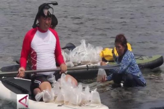 Ribuan bibit lobster hasil sitaan dilepasliarkan