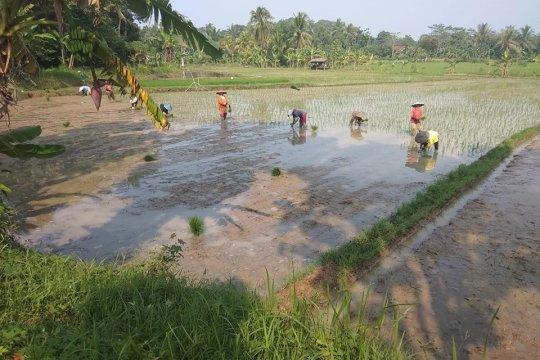 Petani Lebak percepat penanaman padi