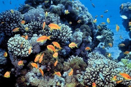 Pertamina pulihkan terumbu karang terdampak tumpahan minyak