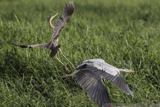 Pengamatan migrasi burung air