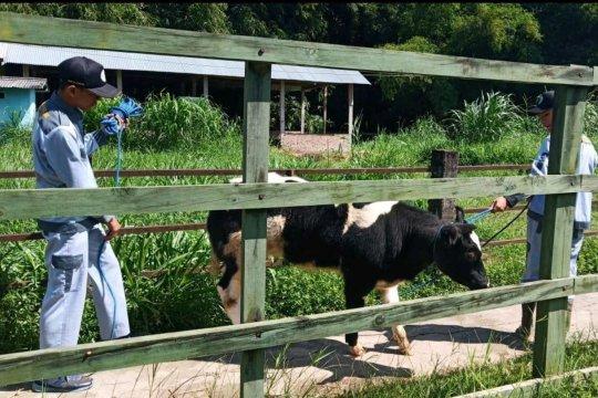 Kementan kembangkan indukan sapi belgian blue dan wagyu di 12 provinsi