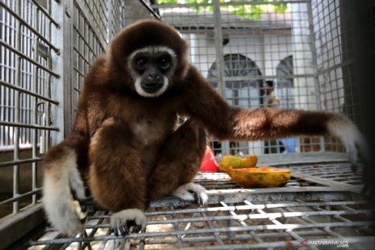 Rehabilitasi Owa Sumatera