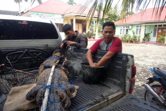 BKSDA Agam lepas liarkan buaya muara yang ditangkap warga