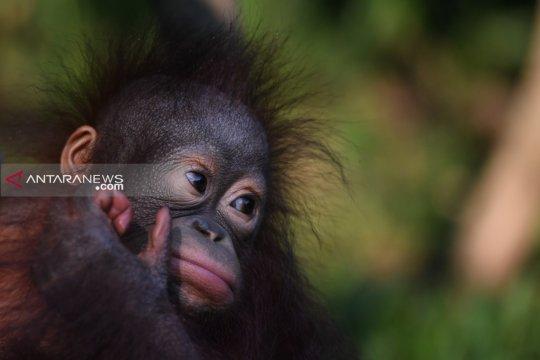 Populasi Orangutan di Taman Safari Prigen bertambah