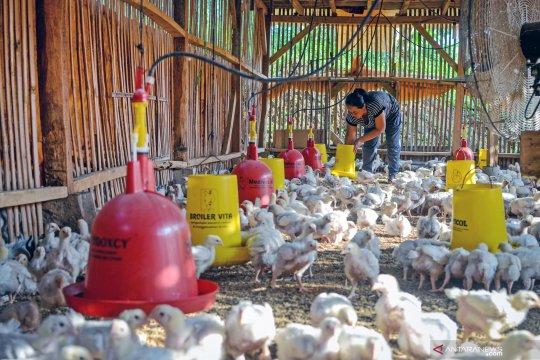 Himpunan peternak bantah gunakan antibiotik pada ayam boiler