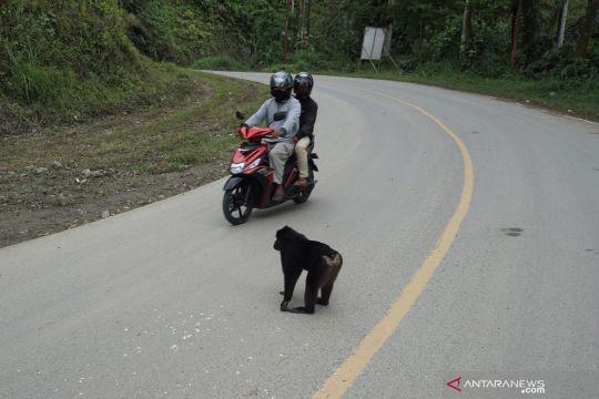 Hati-hati ada Kera hitam Sulawesi di jalur mudik Parigi Moutong
