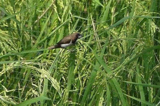 Antisipasi serangan burung, petani pasang jaring pengaman