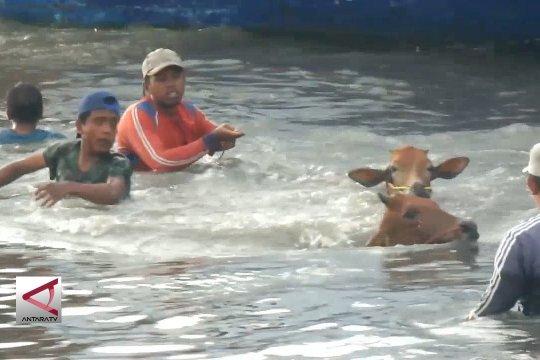 Cerita sapi-sapi yang harus berenang ke pelabuhan