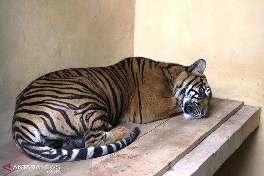 WCS-IP akan survei sebaran harimau Sumatera di Bengkulu