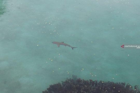 Perburuan ikan hiu marak di Raja Ampat