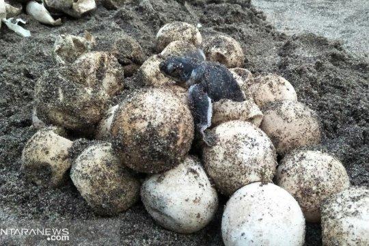 Penyelamat telur penyu di Pantai Padang Pariaman