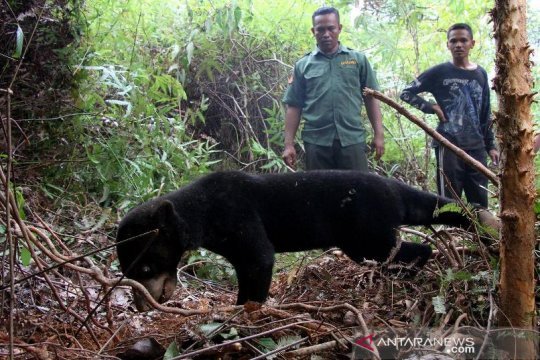 Dua ekor beruang madu terjerat perangkap babi di Aceh Barat Daya