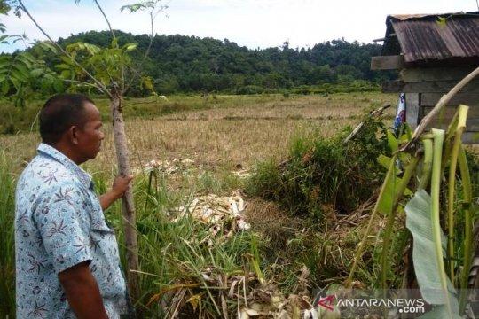 Sepuluh ekor gajah rusak kebun di Aceh Jaya