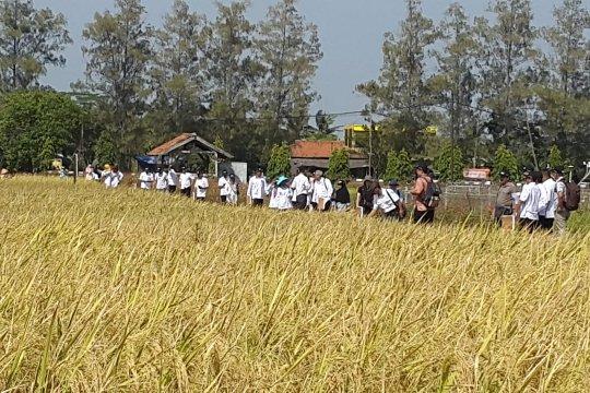 Cegah kekerdilan, Kulon Progo kembangkan padi Nutri Zinc